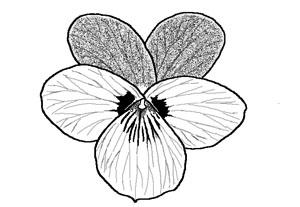 V. ocellata flower