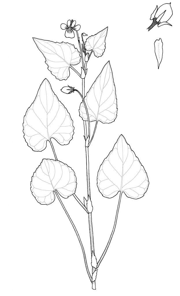 Viola scopulorum