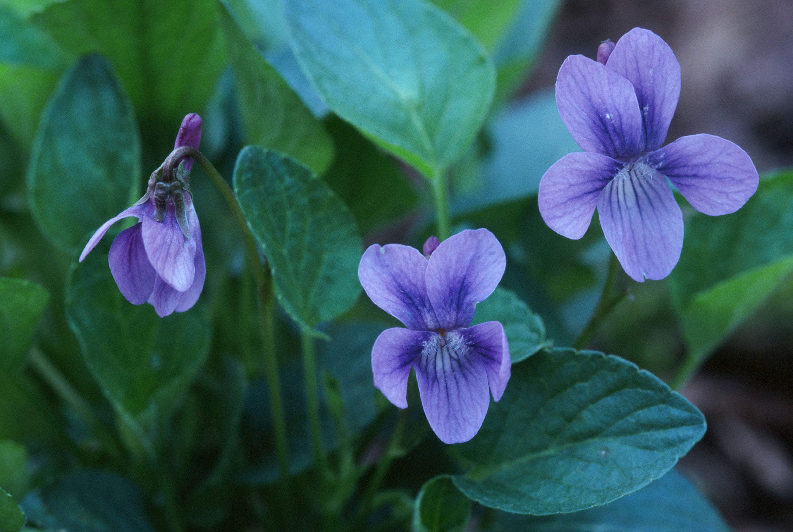 Viola Adunca Botanikim